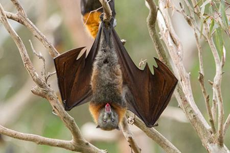 Hairy tongues help bats drink up