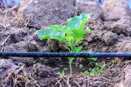 New design cuts costs, making drip irrigation affordable for farmers in the developing world